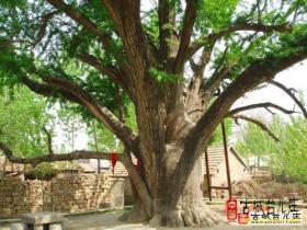 张塘银杏——枣庄最古老的树(古城台儿庄)