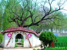 古城台儿庄:杨庙村东有神槐  (泥沟镇)