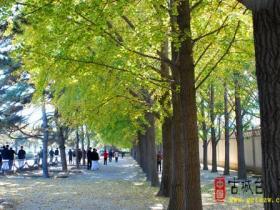 图文直播:古城台儿庄网站记者北京行(三) 北京银杏街