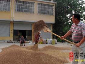台儿庄区邳庄镇500亩黑小麦喜获丰收(图)