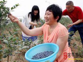 古城台儿庄:蓝莓唱响富民曲(图)