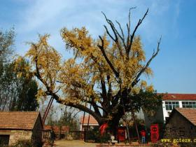 台儿庄老区采风——枣庄最古老的树张塘银杏