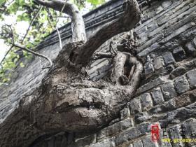【图文】台儿庄古城:天下第一奇树