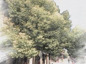 【图文】台儿庄古城:冬天的树,经历着自己的初世