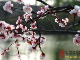柳绿花香——台儿庄古城春天美景9