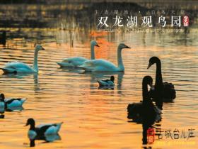 """【图文】台儿庄双龙湖与天鹅一起快乐地飞,""""爱的抱抱""""留下来"""
