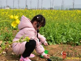 【图文】台儿庄双龙湖湿地五十余亩油菜花阵像打翻的盛大花篮