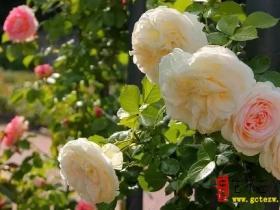 【图文】祥和主题月季园即将呈现,五六月份让我们相约台儿庄祥和!