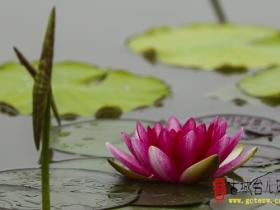 【图文】古城台儿庄:睡莲 开满湿地