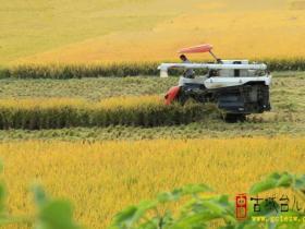 江北水乡台儿庄2万亩优质水稻喜开丰收镰