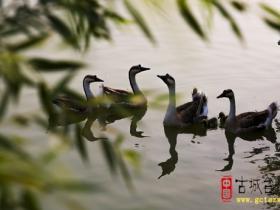 【滋润心灵】秋夜,在双龙湖闻雁鸣