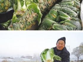 枣庄——今年大白菜每斤价格不到1毛