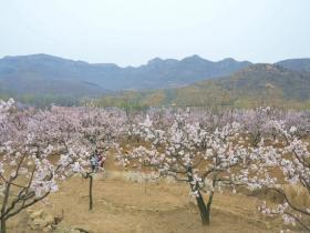 春天的故事-----游长清张夏杏花节