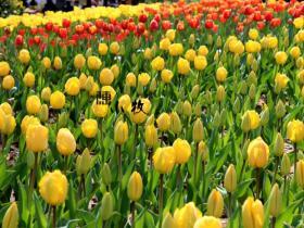 日光倾城好时光,春游日照植物园郁金香