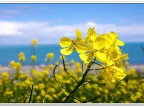 再过半月,她将用铺天盖地的黄灿烂春天的每一个角落!附《油菜花田拍照攻略》