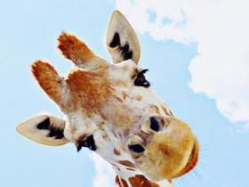 动物园网上直播长颈鹿分娩
