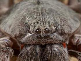 墨西哥现新巨型蜘蛛:4对眼睛