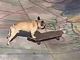斗牛犬在伦敦公园玩滑板