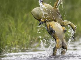 博茨瓦纳两牛蛙大打出手