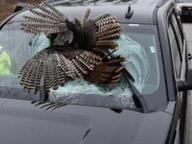 火鸡从天而降砸穿挡风玻璃