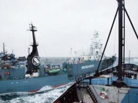 日本船队南极捕333头小须鲸