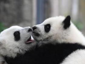 英媒:中国将建大熊猫国家公园