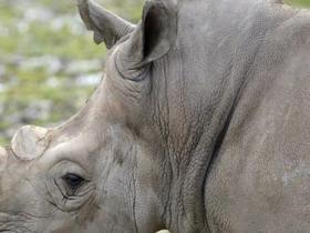 动物园割犀牛牛角防猎杀