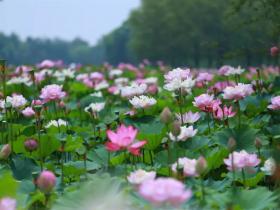 来台儿庄运河湿地,享受荷塘的恬静安逸,邂逅不期而遇的故事!