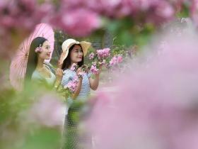 台儿庄古城海棠花开,我在这里,你在哪里?