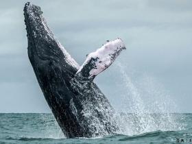 罕见举动 日本政府正式宣布退出国际捕鲸组织