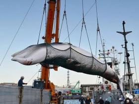 """日本政府正式宣布""""退群"""",力争恢复商业捕鲸?"""