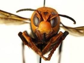 """美国首次发现""""杀手大黄蜂"""" 被其毒刺多次刺中可致命"""