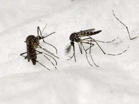 美国将释放数百万只转基因蚊子 科学家感到担忧