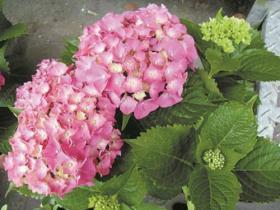10种不适合室内养殖的有毒植物