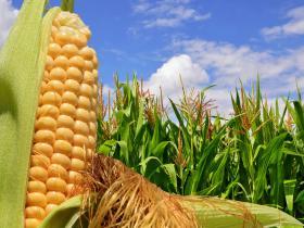 高收玉米增产套餐,玉米的种植技巧